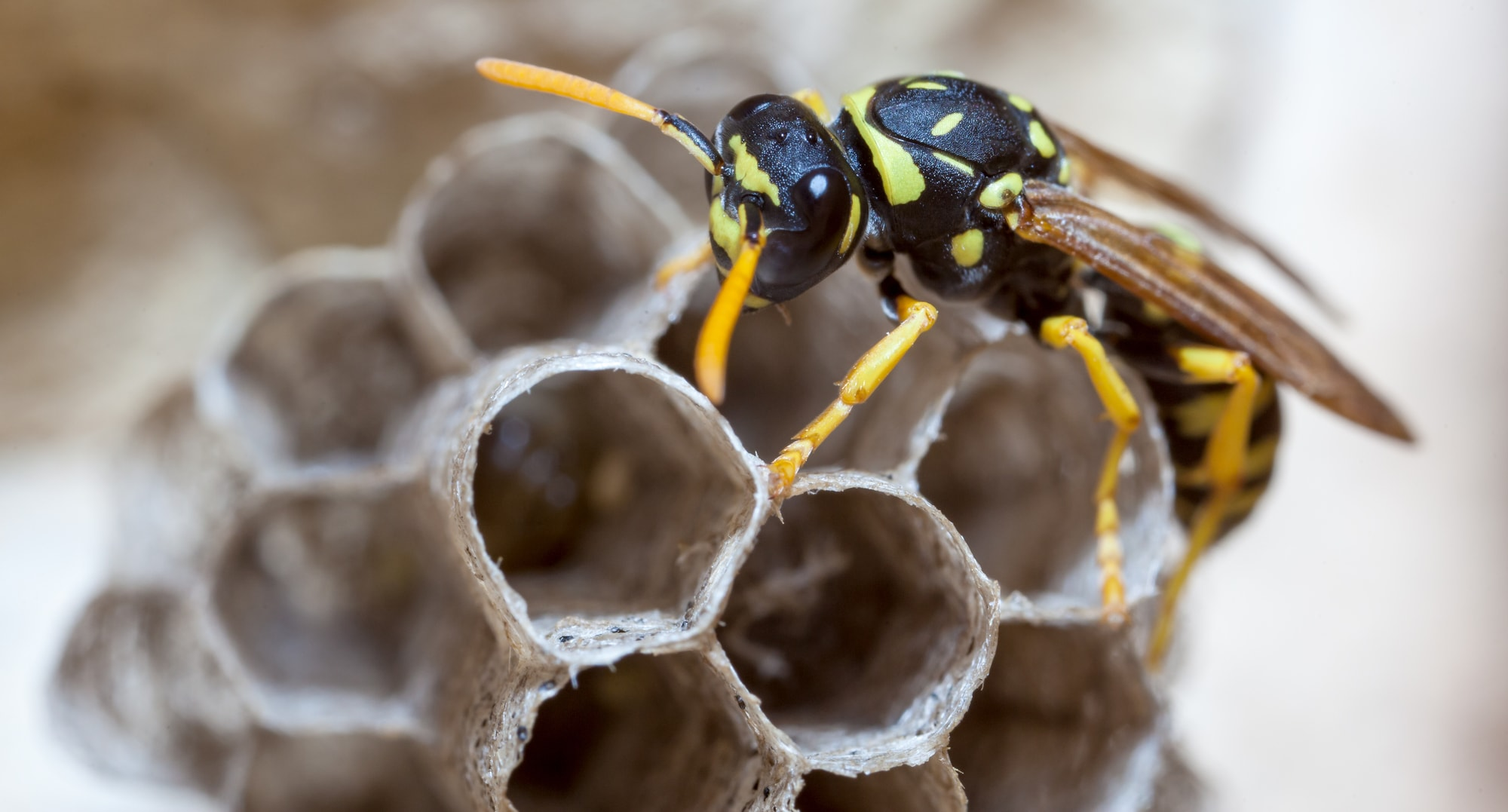 paper-wasp-on-nest-feature
