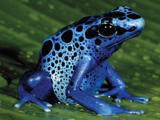 animals-blue-poison-frog-slide1